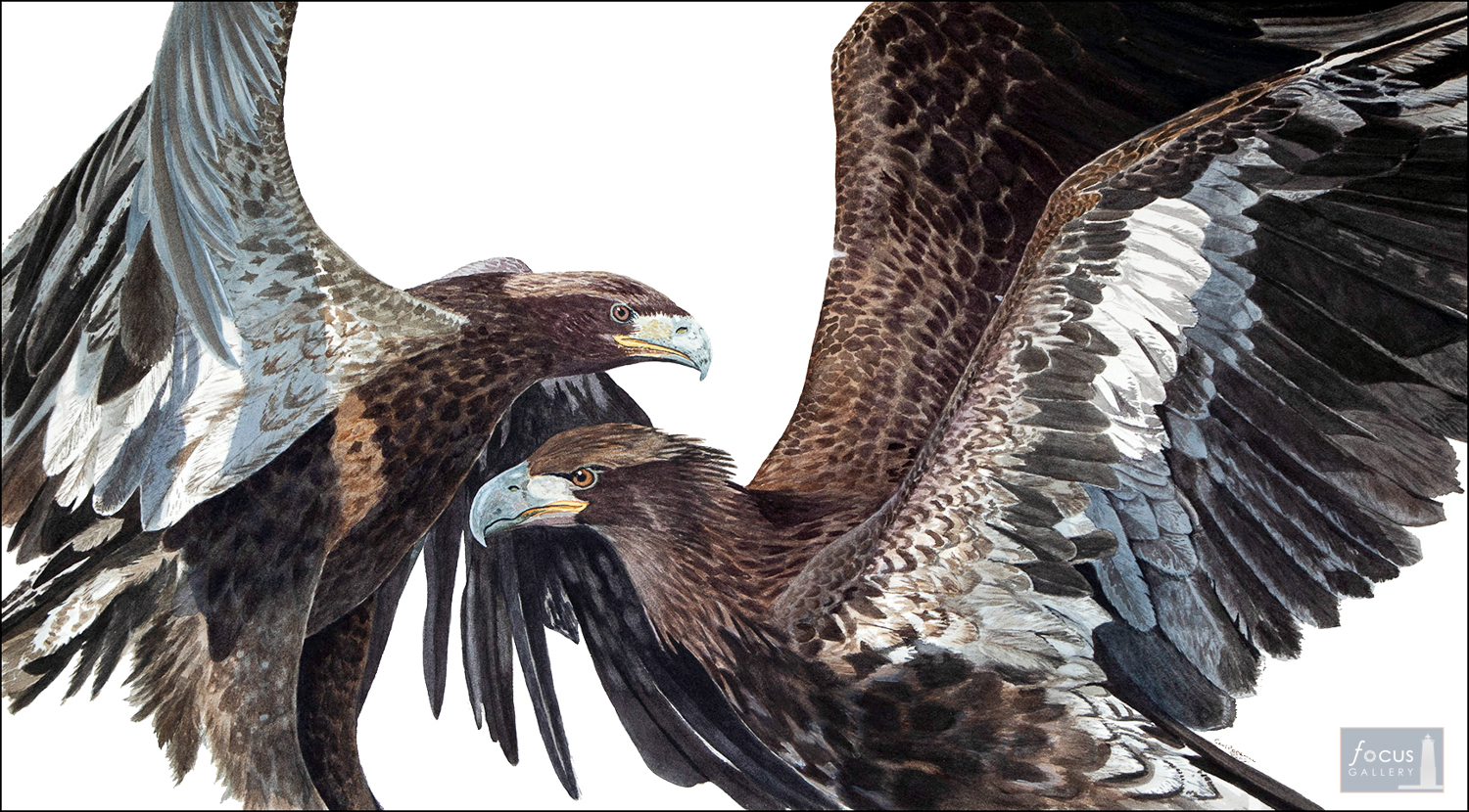 Original watercolor painting of two immature Bald Eagle birds fighting.