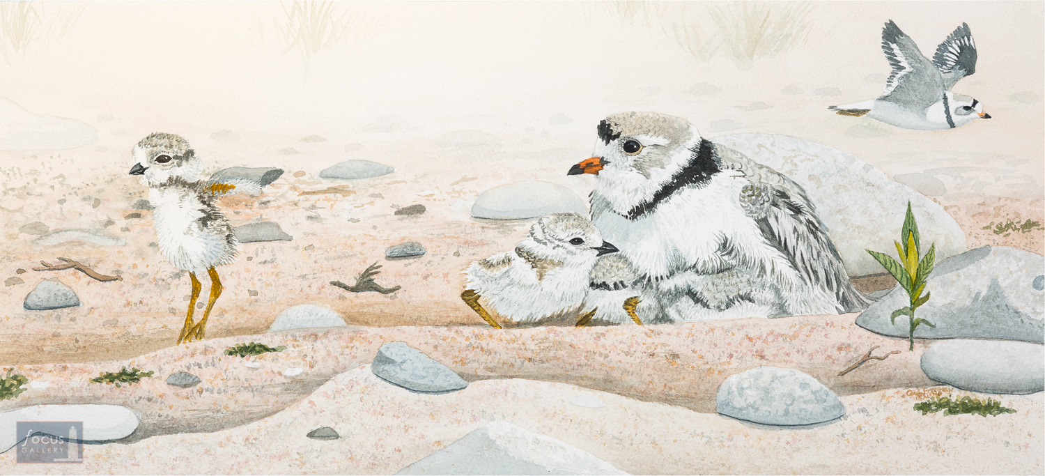Original watercolor painting of a Piping Plover family with two adults and two chicks on sand and rocks.