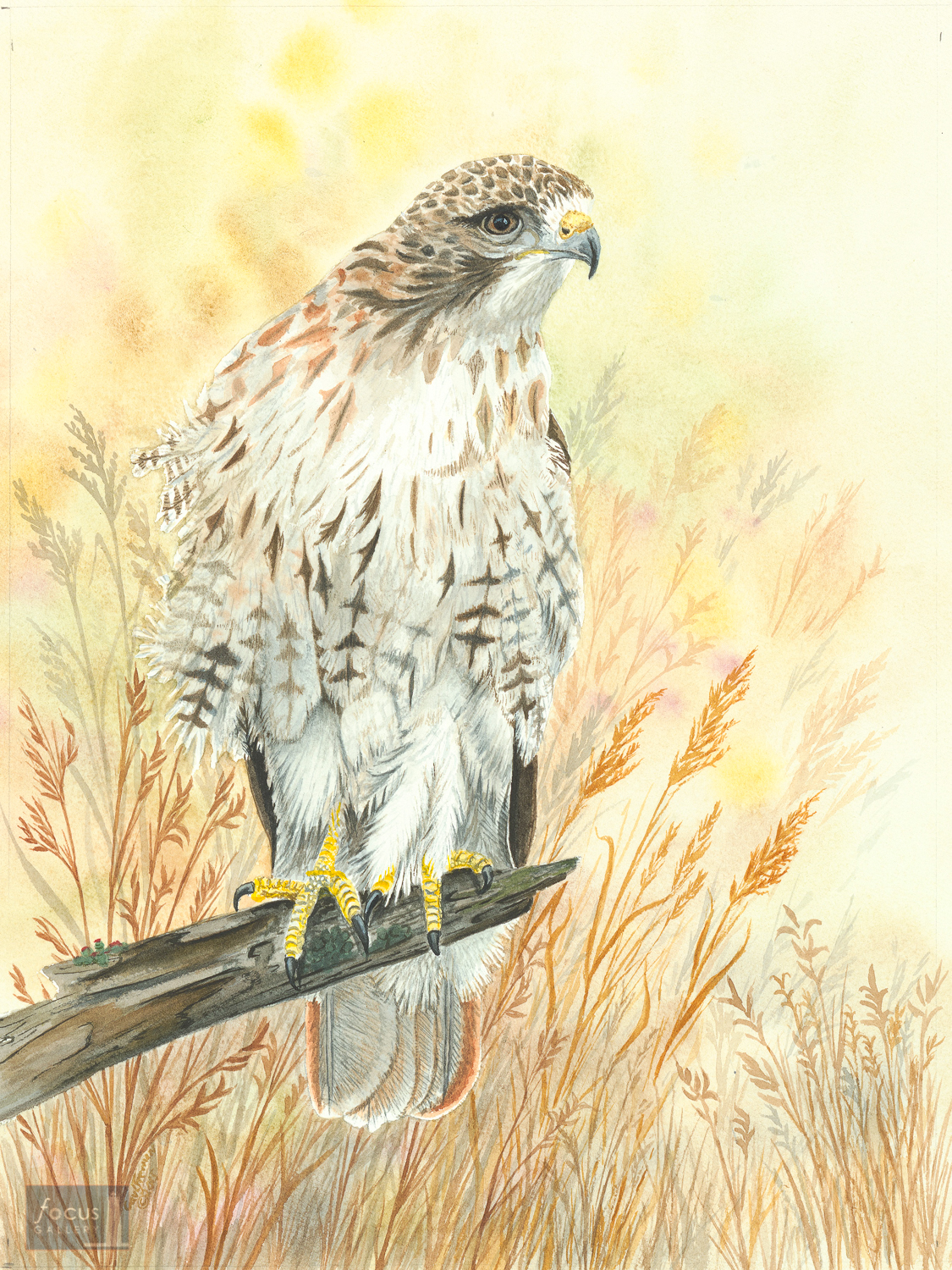Original watercolor painting of a Red-tailed Hawk perched on a branch.