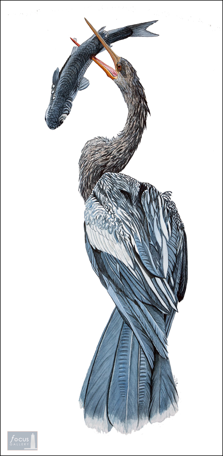 Original watercolor painting of an anhinga bird with a mullet fish in its beak.
